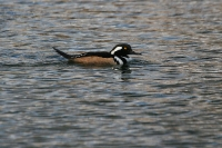 Hooded-Merganser-Reid-Park-020710-10