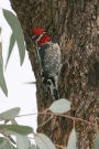 Red-naped-Sapsucker-Ft-Lowell-Park-022710-01
