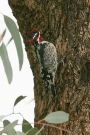 Red-naped-Sapsucker-Ft-Lowell-Park-022710-02