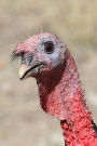Wild-Turkey-Madera-Canyon-032210-03