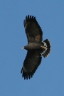 Common-Black-Hawk-Tubac-032910-05