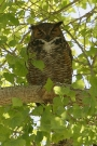 Great-Horned-Owl-Ft-Lowell-Pk-10-0424-01
