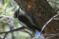 American-Three-toed-Woodpecker-Greens-Peak-10-0605-06