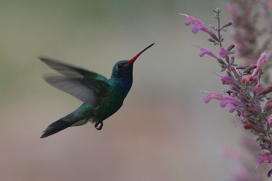 Broad-billed-Hummingbird-Ash-Canyon-10-0724-03