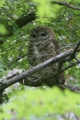 Spotted-Owl-Miller-Canyon-10-0724-05