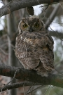 Great-Horned-Owl-Tucson-10-0731-03