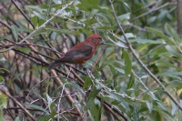 Red-Crossbill-Woodland-Lake-10-1002-04