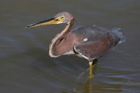 Tricolored-Heron-Lakeside-Park-10-1010-35