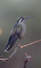 Blue-throated-Hummingbird-Cave-Creek-Ranch-10-1123-02