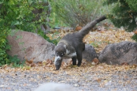 Coati-Cave-Creek-Ranch-10-1123-01
