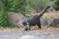 Coati-Cave-Creek-Ranch-10-1123-02