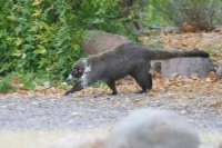 Coati-Cave-Creek-Ranch-10-1123-03