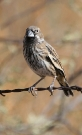 Lark-Bunting-Willcox-Twin-Lakes-10-1123-02