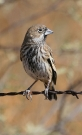 Lark-Bunting-Willcox-Twin-Lakes-10-1123-03