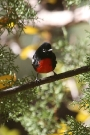 Painted-Redstart-Portal-10-1125-01