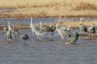 Sandhill-Crane-Whitewater-Draw-10-1124-03