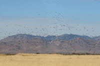 Sandhill-Crane-Willcox-Twin-Lakes-10-1123-01
