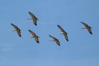 Sandhill-Crane-Willcox-Twin-Lakes-10-1123-02