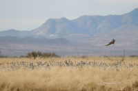 Sandhill-Crane-Willcox-Twin-Lakes-10-1123-05