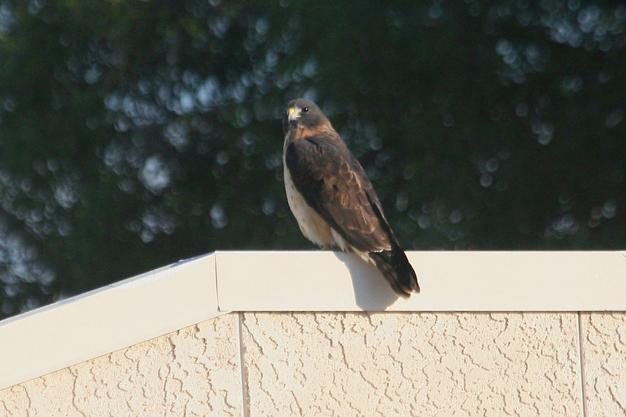 Short-tailed-Hawk-Tucson-10-1228-09