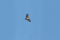 Short-tailed-Hawk-Tucson-10-1228-02