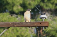 Short-tailed-Hawk-Tucson-10-1228-11