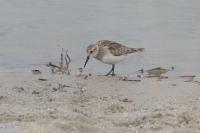 shorebird-Willcox-10-1229-03