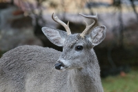 Coues-White-tailed-Deer-Cave-Creek-Ranch-10-1230-03