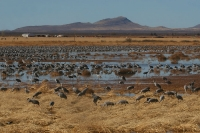 Sandhill-Crane-Whitewater-Draw-11-0118-20
