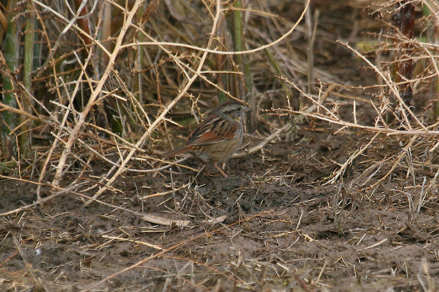 Swamp-Sparrow-Whitewater-11-0220-01