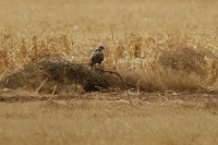 Rough-legged-Hawk-Sulphur-Springs-Valley-11-0220-02