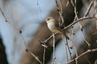 Gray-Flycatcher-Kino-Springs-11-0221-01