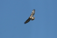 Red-tailed-Hawk-Tubac-11-0221-01