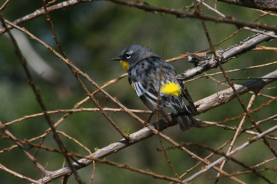 Yellow-rumped-Warbler-Sweetwater-11-0324-02