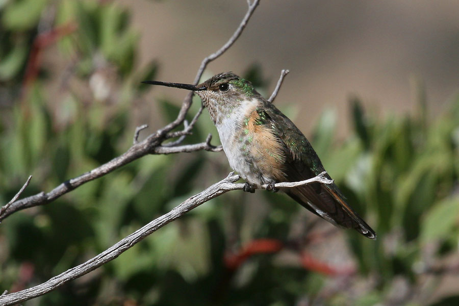 Broad-tailed-Hummingbird-Cochise-Stronghold-11-0408-03