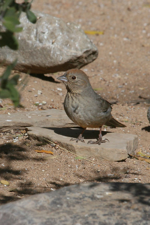 Canyon-Towhee-Cochise-Stronghold-11-0408-01