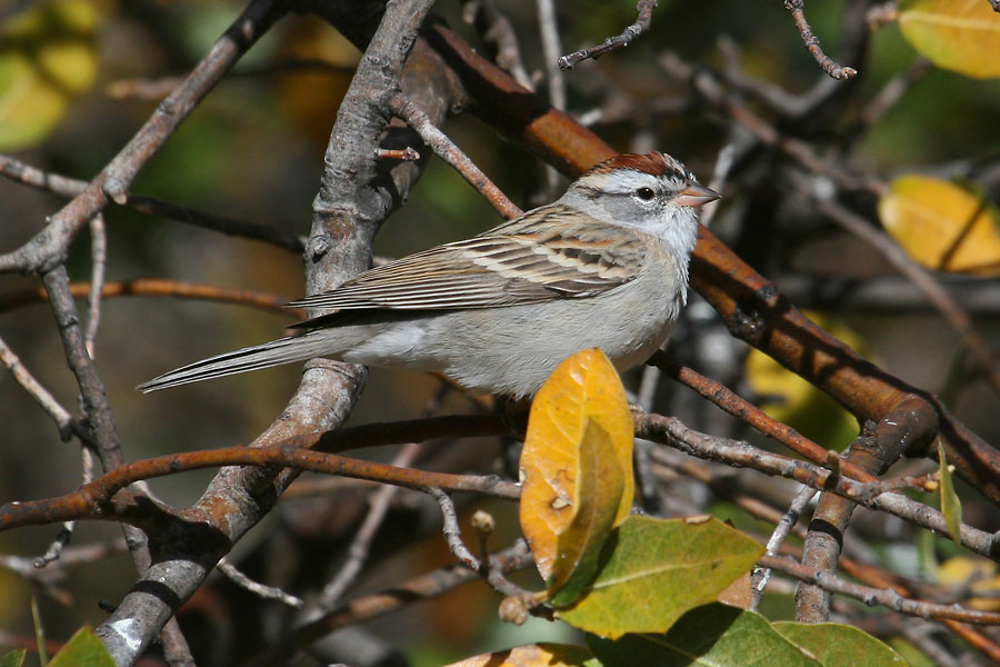 Chipping-Sparrow-Cochise-Stronghold-11-0408-02