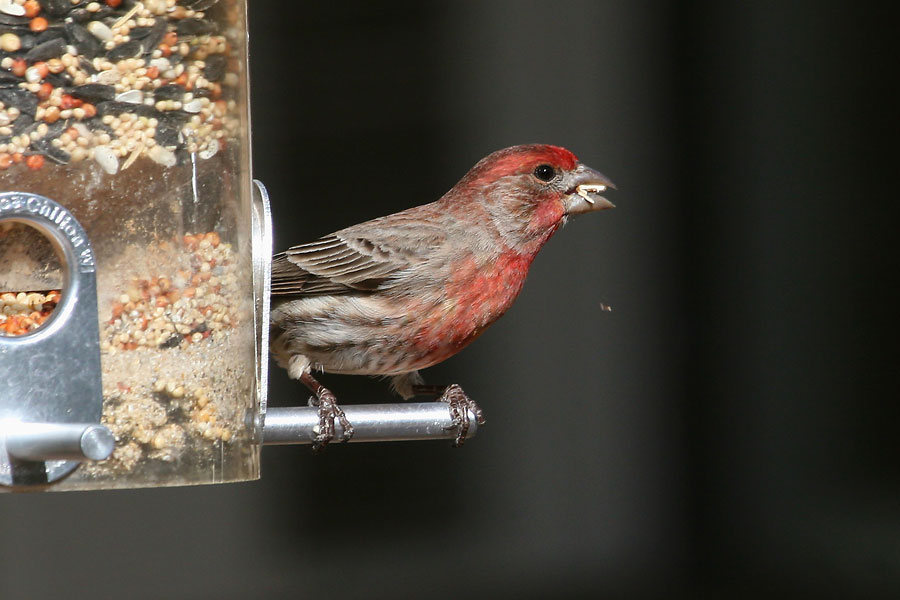 House-Finch-Cochise-Stronghold-11-0408-01