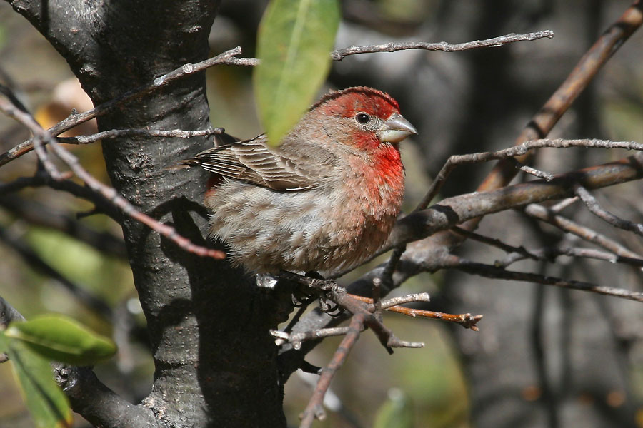 House-Finch-Cochise-Stronghold-11-0408-02