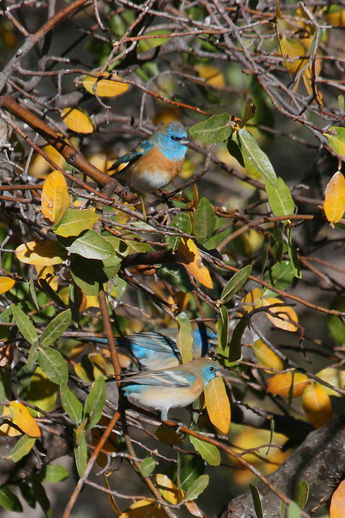 Lazuli-Bunting-Cochise-Stronghold-11-0408-06