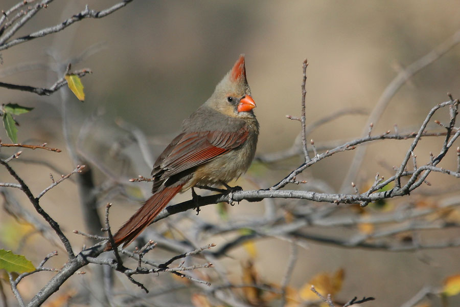 Northern-Cardinal-Cochise-Stronghold-11-0408-01