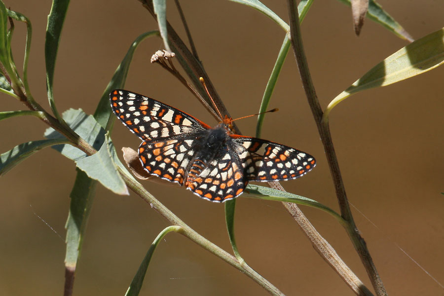 Variable-Checkerspot-Fossil-Creek-11-0416-01