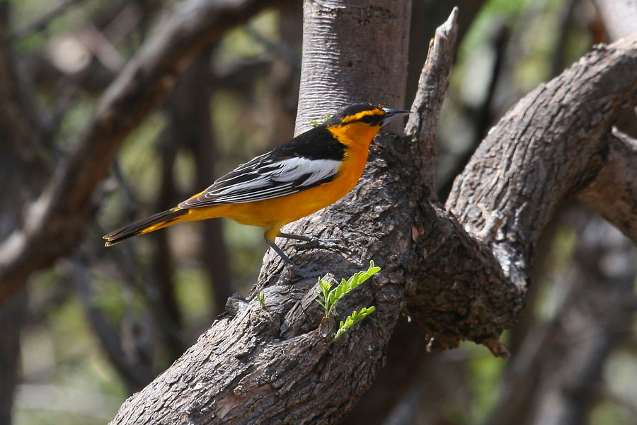 Bullocks-Oriole-Ash-Canyon-11-0419-05