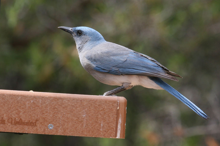 Mexican-Jay-Ash-Canyon-11-0419-01