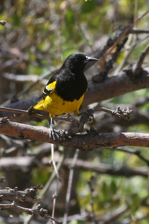 Scotts-Oriole-Ash-Canyon-11-0419-02