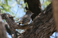 Ash-throated-Flycatcher-05