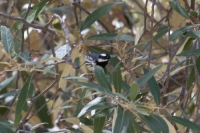 Black-throated-Gray-Warbler-01