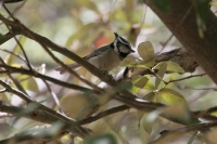 Bridled-Titmouse-01