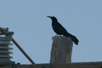 Great-tailed-Grackle-01