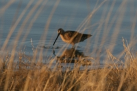 Long-billed-Dowitcher-01